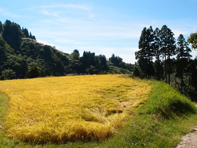福島の皆さんと新潟で稲刈りを