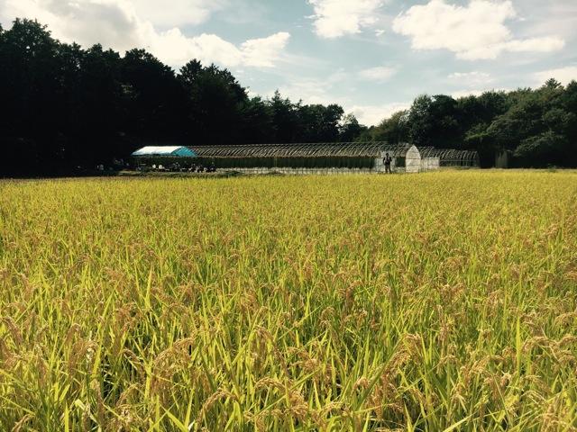 福島のみなさんと日光でお米作り—稲刈り—