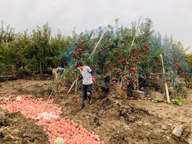 長野千曲川周辺リンゴ畑支援(リンゴスタープロジェクト)